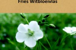 Fries Witbloeivlas