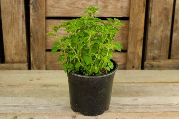 Oregano Normaal (plant)  De Bascule