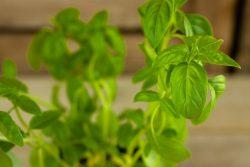 Bascilicum (plant)  De Bascule