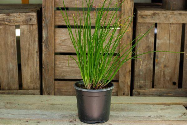 Bieslook (plant)  De Bascule