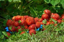 Juicy Strawberries In The Garden