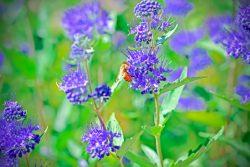 Bee On Spirea Plant