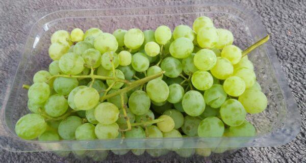 Witte Druiven  Visbeek